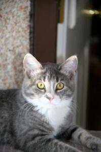 """Young Female Cat - Tabby (Gray): """"Violet"""""""