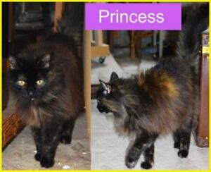 "Senior Female Cat - Domestic Long Hair (Brown): ""Princess"""