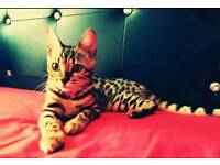 Bengal girl for sale