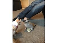 Beautiful KC registered chihuahua puppies