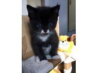 Gorgeous half ragdoll kittens for sale