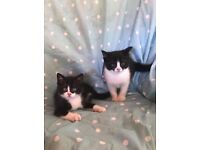 BRITISH SHORT HAIRED CROSS kittens for sale £250 each or £400 for both