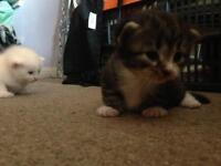 4 kittens available. 2 boys and 2 girls