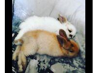 Baby bunnys female