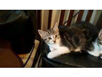 Kitten male bengal mix