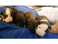4 male english bull terrier pups