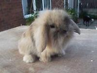 Lion lop baby rabbit