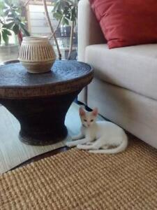 "Baby Male Cat - Domestic Short Hair (White): ""Sun"""