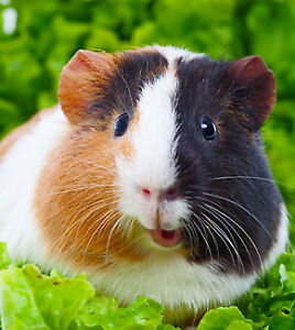 Home boarding all included, specialize guinea pig and rabbit