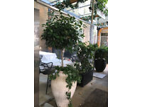 Stunning Italian White Clay Planter from Puglia with Bay Tree (3 available)