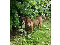 staffy cross puppys