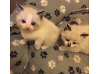 2 Beautiful Ragdoll kittens