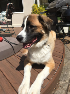 ADOPT: Bacon, Husky + St Bernard mix, friendly, playful, cuddly