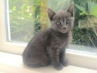 Russian Blue Grey Kitten- 2 Males and 1 Female READY FOR NEW HOME