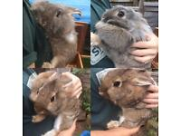 2 x lion head rabbits