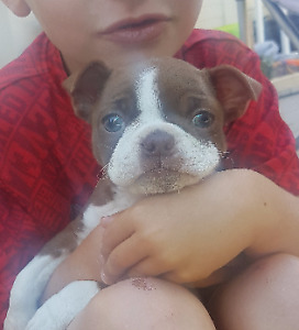 Beautiful Red and White Boston Terrier Puppy