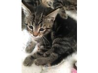 Gorgeous fluffy tabby kittens!!
