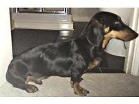 Male Dachshund Pup