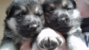 King Sheppard puppies for sale!