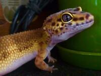 Leopard gecko female 3 years old