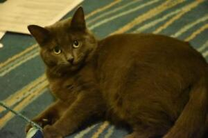 """Adult Female Cat - Russian Blue: """"KNEESAA (bonded with Padme)"""""""