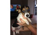 2 female puppies, 8 weeks old ready to go! 3 quarter jack Russell, 1 quarter chihuahua