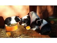 baby guinea pigs for sale. 3 females and one male