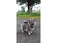 Beautiful Pomeranian girl for sale last one