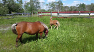 Sweet pony mare for sale