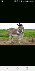 Wanted-mini donkey/mule