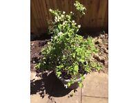One very large Philadelphus plant shrub in pot.
