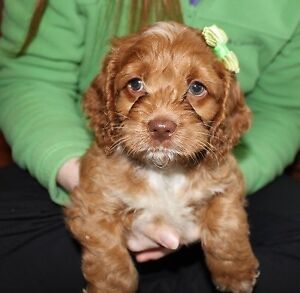 Cockapoo Puppies - arriving in the fall! Ready to go December...