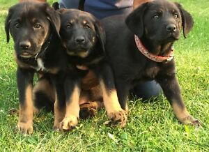 3 Super Adorable Female Rotti/Lab Puppies