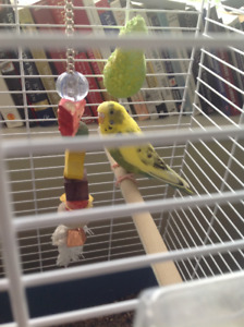 Looking To Rehome Budgie