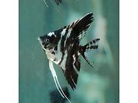Mixed 4-5cm Angel fish, Smokey Blue, black & white marble & Koi