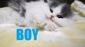 Extremely Sweet Blue & White Persian Kittens