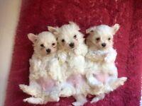 Female Maltese Puppies Ready