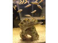 Baby Malawi Cichlids Fish