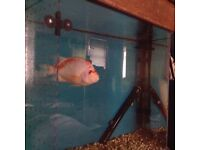 RED DEVIL CICHLID FOR SALE