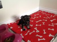 Mini schnauzer pup for sale kc reg , puppy insured , vet checked , wormed , food and fact sheet .