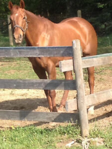 Gorgeous Broodmare for sale...
