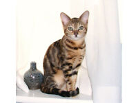 Beautiful Female Bengal cat