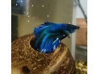Beta fish / Siamese fighter
