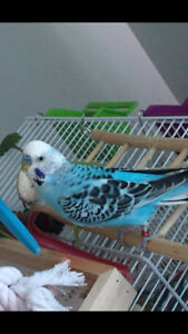 BLUE BUDGIE LOST in GUELPH please help