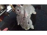 Chinchilla Netherland dwarf rabbits
