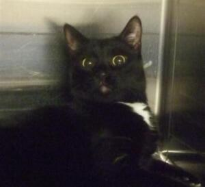 """Adult Male Cat - Domestic Short Hair: """"Mickie"""""""