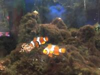 Pair of marine clown fish