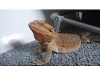 Female Bearded dragon with full set up