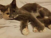 7 month old Ragdoll X Russian Blue kitten