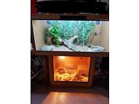 3 CORN SNAKES AND SET UP